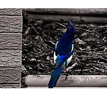 Mr Magpie Photographic Print