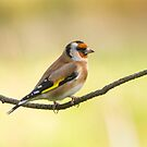 European Goldfinch by M.S. Photography/Art