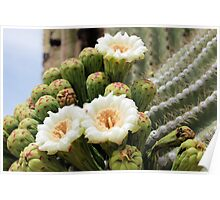 Three Open Saguaro Blooms Poster