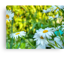 Daisy in the Garden 2 Canvas Print