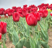 Lots of Red Tulips 3 by AnnArtshock