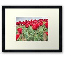 Lots of Red Tulips 3 Framed Print