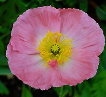 Pastel Pink Poppy by Penny Smith
