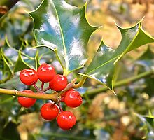Brilliant Holly And Berries  by GallyThreepwood
