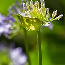 Agapanthus Backlit  by DIANE  FIFIELD