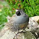 Windblown Pose - Californian Quail by AndreaEL