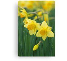 Daffodils. Canvas Print