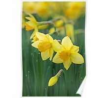 Daffodils. Poster