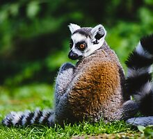 Young Lemur by PatiDesigns