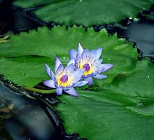 Blue lotus by mayalenka