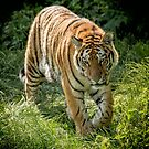 Tiger on the prowl by alan tunnicliffe