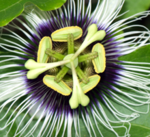 Yellow Passion Fruit Flower Sticker