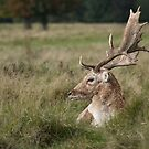 Fallow deer stag lying by alan tunnicliffe