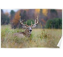 Autumn in Canada - White tailed deer Buck Poster