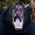 """""""I am not Yogi!!!"""" - Black Bear by Jim Cumming"""