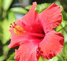 Hibiscus of Leesburg by Bob Hardy