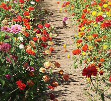 Path Through the Zinnia Field by Mary Ellen Tuite Photography