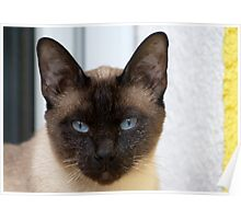 Gorgeous Bluepoint Siamese Cat Poster