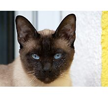Gorgeous Bluepoint Siamese Cat Photographic Print