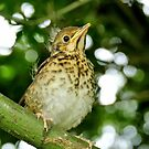 Juvenile Song Thrush - Pukerau by AndreaEL