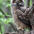 Great Horned Owl / Juvenile by Gary Fairhead