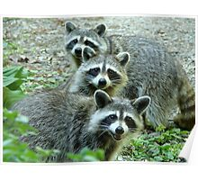 Three Raccoon Poster