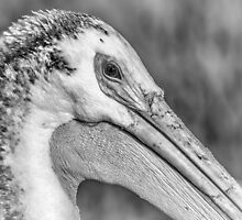 Close Up Of An American White Pelican by Thomas Young