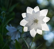 White Platycodon Star by Georgia Mizuleva