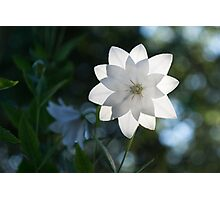 White Platycodon Star Photographic Print