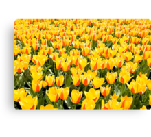 yellow and red Stresa tulips abloom  Canvas Print