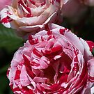 Double Toned Rose by Joy Watson