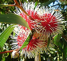 Hakea - Pin Cushion Tree - Australian Native by EdsMum