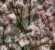 Magnolia in Bloom by missmoneypenny