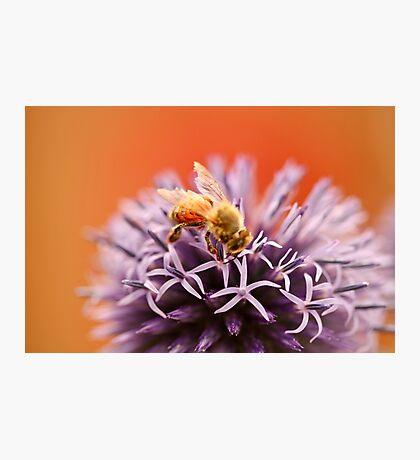 Honeybee gathering pollen on Purple Flower Photographic Print