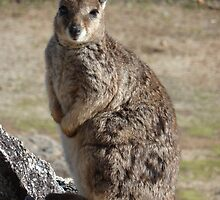 Rock Wallaby - Granite Gorge Nature Park by DashTravels