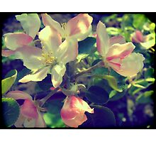 Pink Apple Blossom 4 Photographic Print