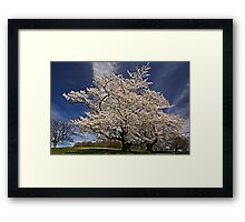 When the cherries bloom, Spring is here. Framed Print