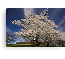 When the cherries bloom, Spring is here. Canvas Print