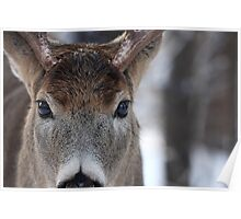 White-tailed Deer Buck up close and personal Poster