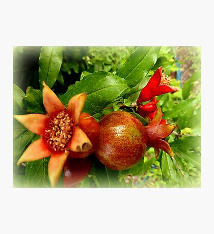 Young Pomegrantes Photographic Print