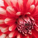 red and white dahlia  by bubblehex08