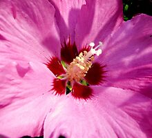 Rosemallow by bubblehex08