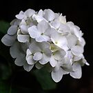 I love a White Hydrangea don't you? by Clare Colins