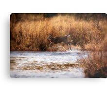 White Tail Deer jumping into the Creek - Parc National Mont Tremblant Metal Print