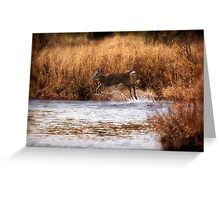 White Tail Deer jumping into the Creek - Parc National Mont Tremblant Greeting Card