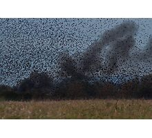 Starling Roost! Photographic Print