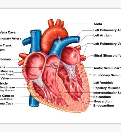 Anatomy of heart interior, frontal section. Sticker