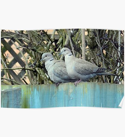 Collared Doves (Streptopelia decaocto) Poster