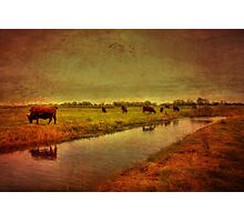 Cows On The Marsh Photographic Print