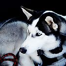 After an international Husky Race....For Anna, Sophia and Lachy by Imi Koetz